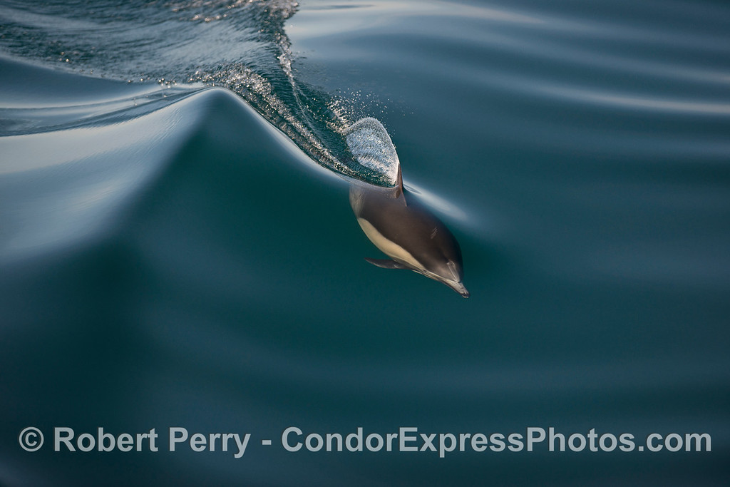 Glassy wave and a long-beaked common dolphin.