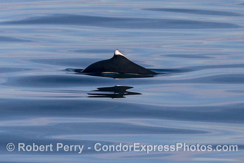 Dall's porpoise heading left.