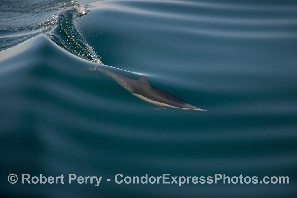A long-beaked common dolphin creates  pressure crease on the glassy surface of a small wave.