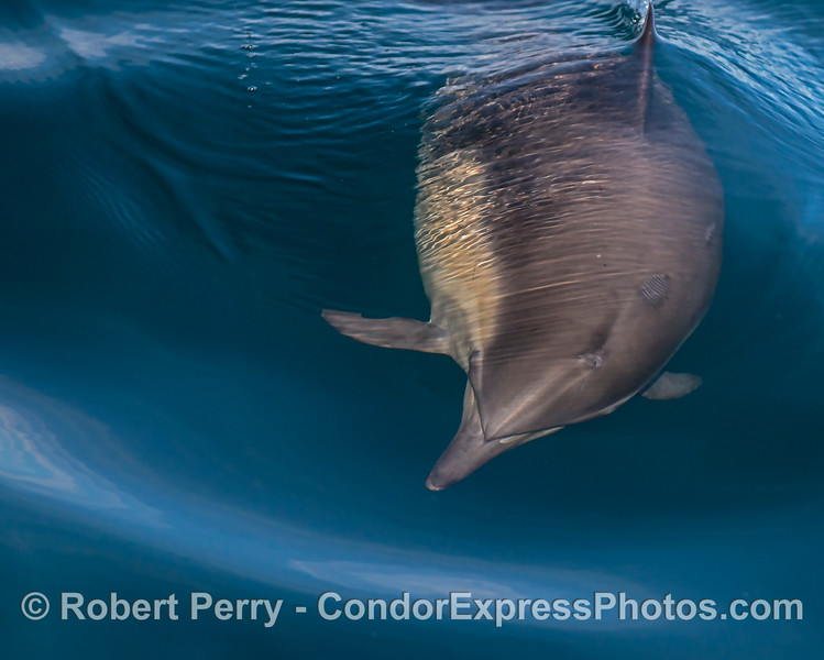 A long-beaked common dolphin turns its head to take a look.