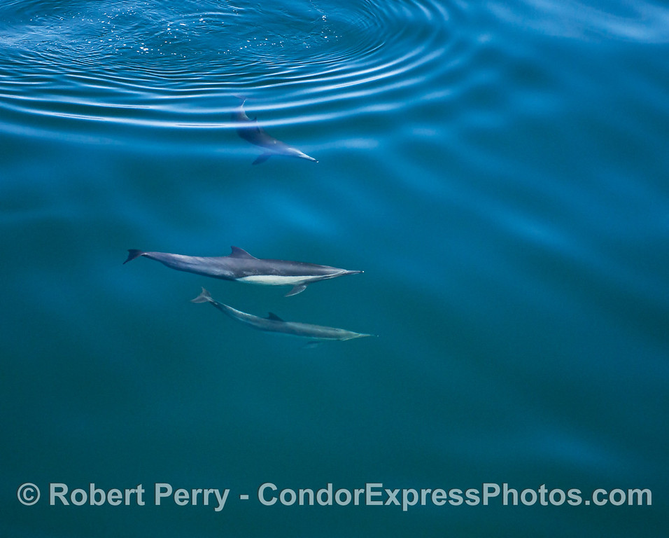 Surface ripples and looks at 3 long-beaked common dolphins underwater.