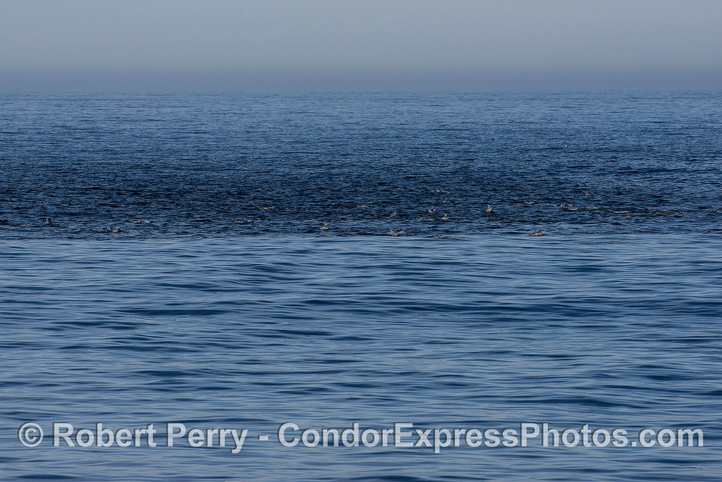 The abrupt dark and rough water indicates the presence of a long-beaked common dolphin megapod.