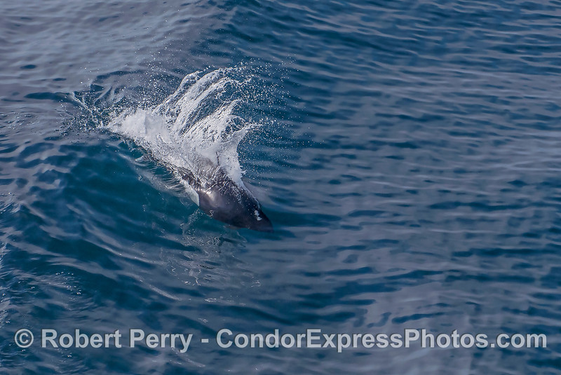 Dall's porpoise - surfing