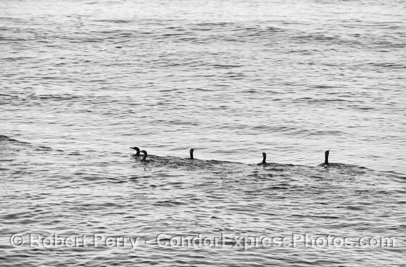Pelagic cormorants - black and white silhouettes