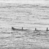 Pelagic cormorants - black and white silhouettes