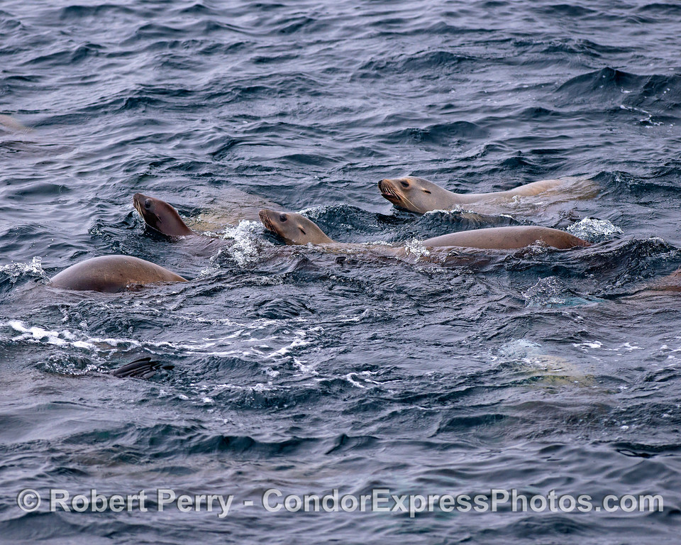 Part of a California sea lion mob.