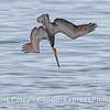 Brown pelican - crash feeding
