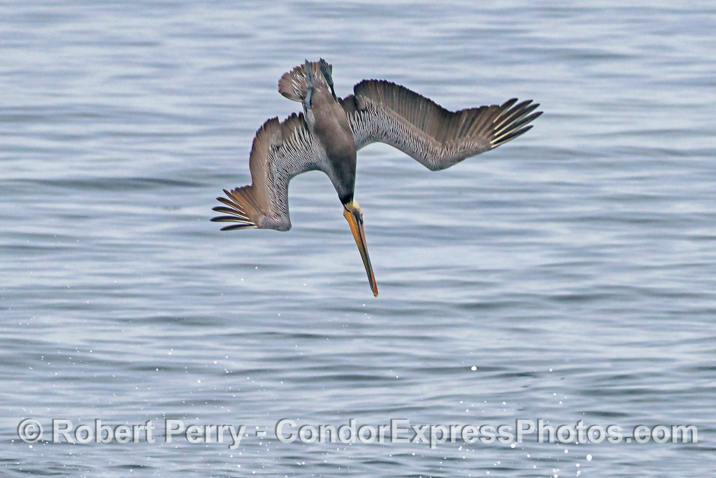Brown pelican - crash feeding