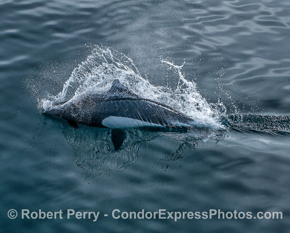Dall's porpoise - high speed reflections