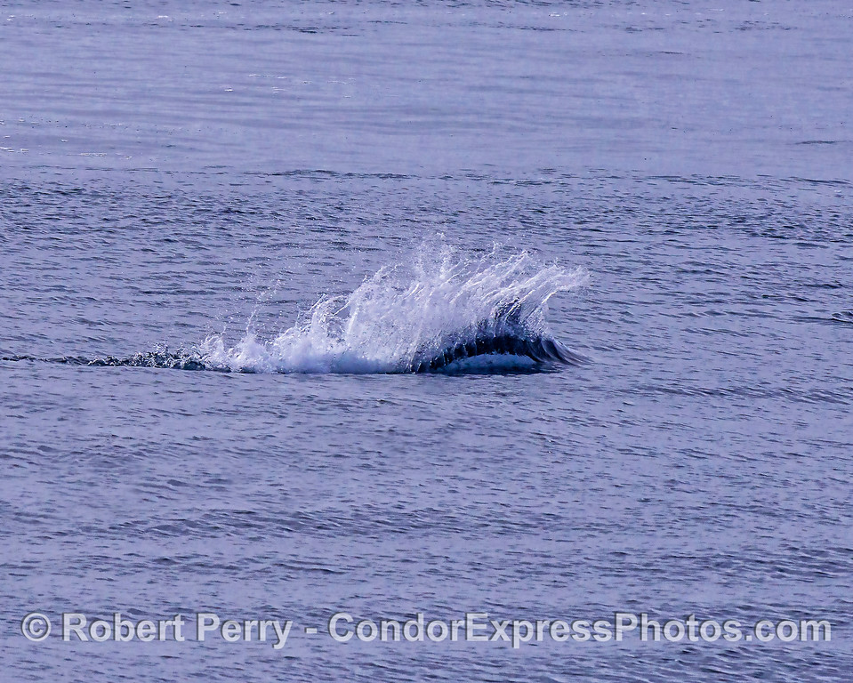 Dall's porpoise - rooster tail