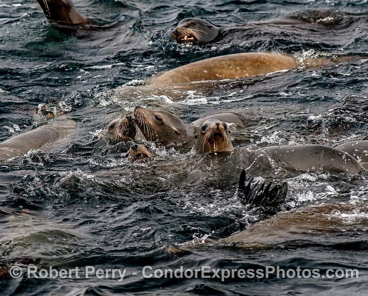 Part of a California sea lion mob.