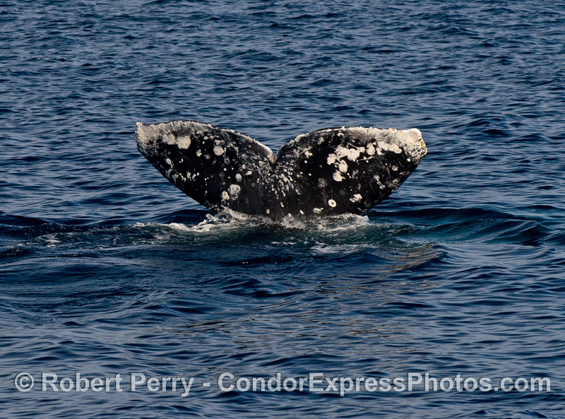 Gray whale tail flukes