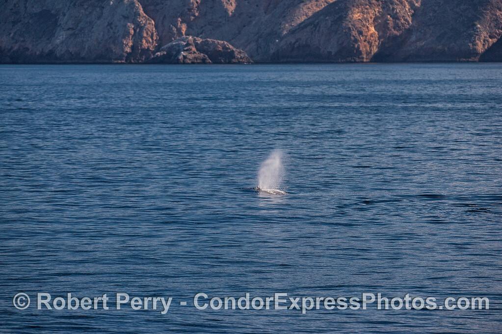 A spouting gray whale near Santa Cruz Island