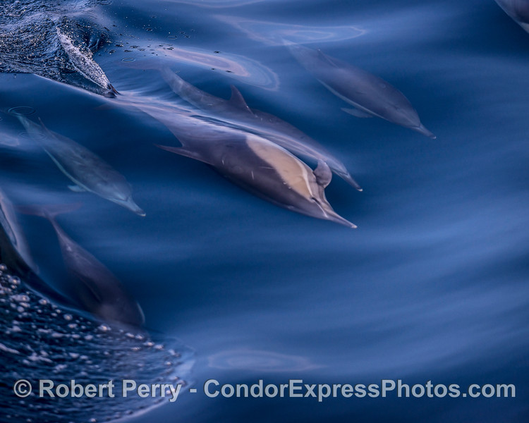 Another sideways long-beaked common dolphin