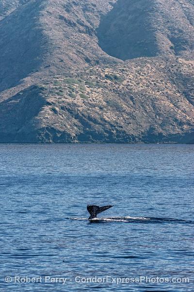 Southbound gray whale near Santa Cruz Island