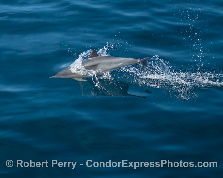 Half in, half out - a long-beaked common dolphin.