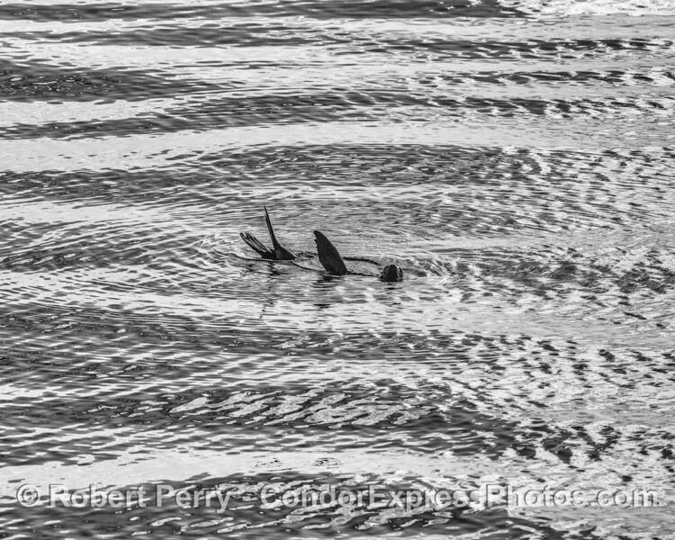 California sea lion rafting; black and white.