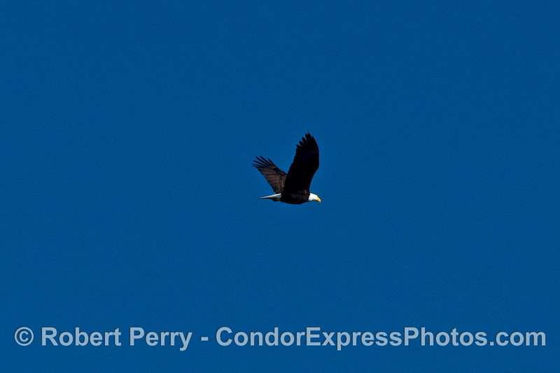 Bald eagle flies overhead