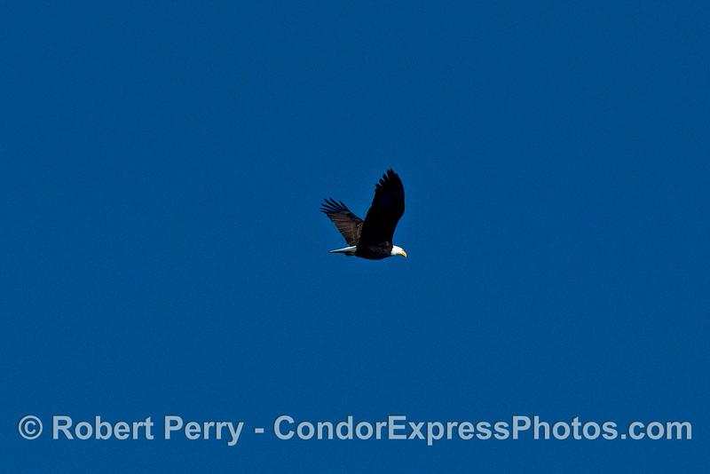 Bald eagle flies overhead