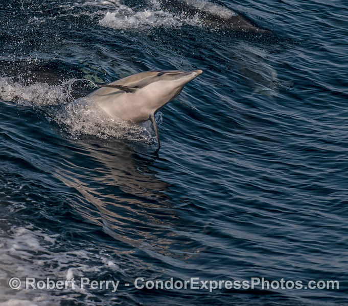 A leaping long-beaked common dolphin