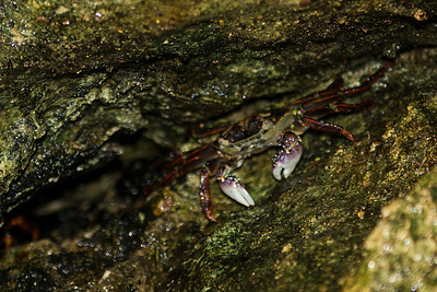 Crab hiding in the rocks, Cathedral cove