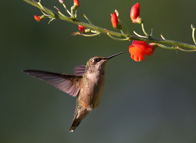 DA061,DN,Hummingbird