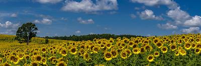 DA094,DP, Sunflower panorama