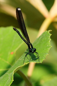 Ebony Jewelwing, f