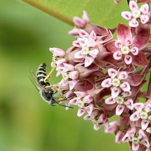 American Sand Wasp (Bembix americana spinolae) per Stan Malcom