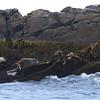 Harbor Seal, Gray Seal, TBD Seal