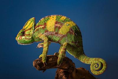 DA065,DN,Veiled chameleon