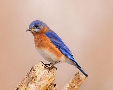 DA054,DN,Winter Bluebird