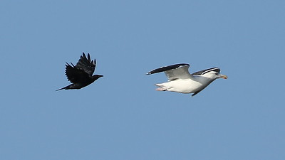 Great Black-backed Gull & Fish Crow