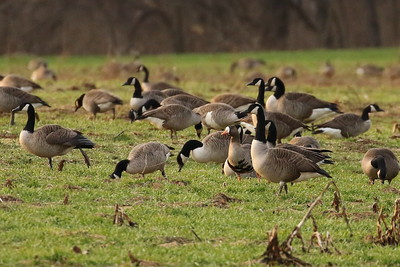 Barnacle Geese & Greater White-fronted Goose