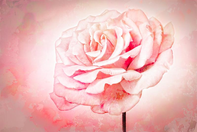 "07-20-17 Hi Key ""Valencia"" Rose"