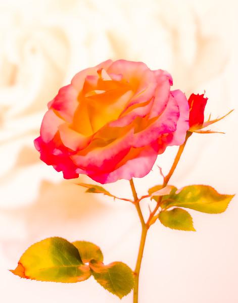 "07-30-17 Rose ""Daybreaker"""