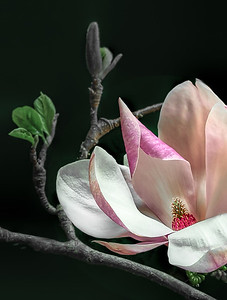 Pink Magnolia on Black