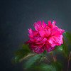 Pink Peony Painted