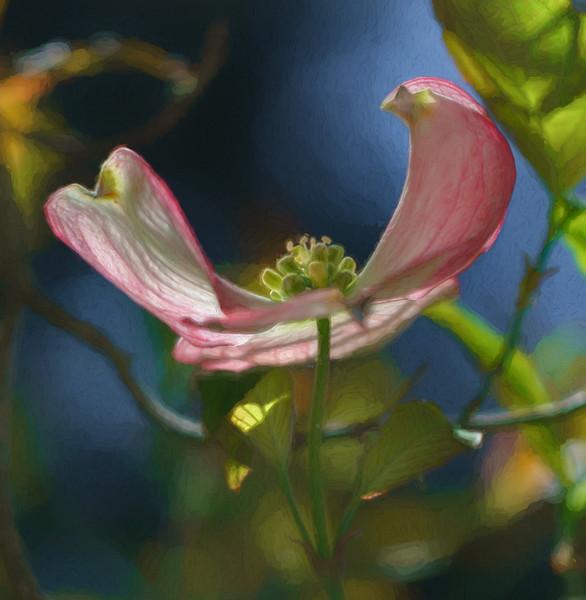 Backlit Dogwood Flower