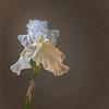 White Iris (2)