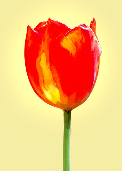 Red Tulip on Yellow