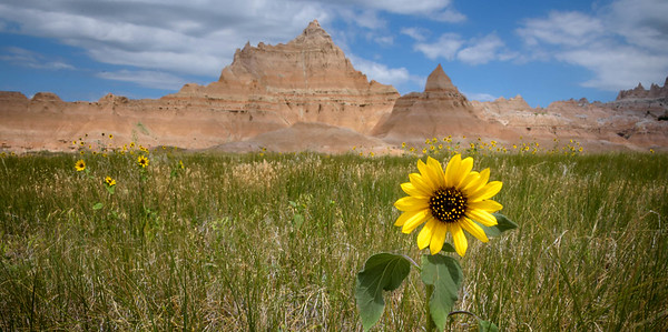 DA094,DP,Badlands Sunflower