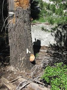 Fungus on dead stump