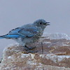 Mountain Bluebird, juvenile