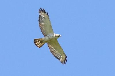 Broad-winged Hawk, Light Juvenile