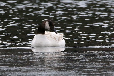 White-bodied Canada Goose (Hybrid?)