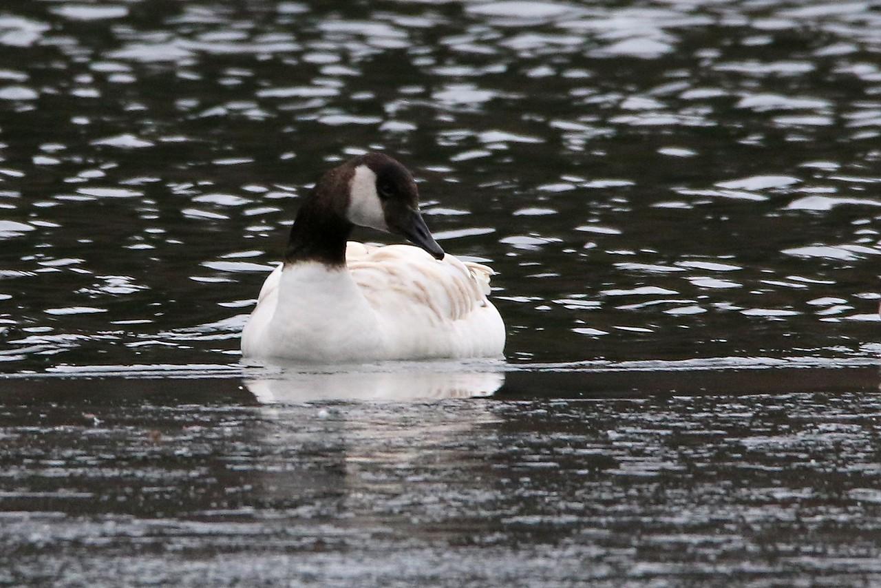 White-bodied Canada Goose (Hybrid?)