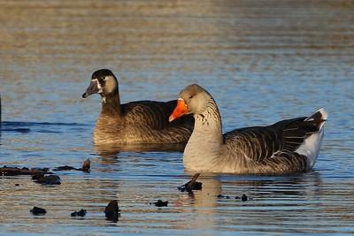 Domestic Greylag Goose & Hybrid Goose