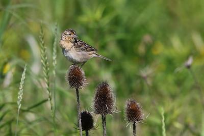 Greasshopper Sparrow
