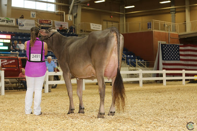 All-American Brown Swiss Cows 2017